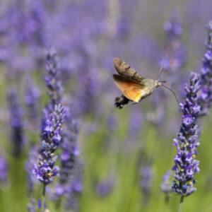 Steirischer Lavendel